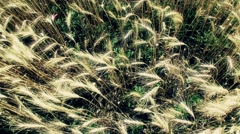 4K Summer Lush Wheat Field 48 wide high stylized - stock footage