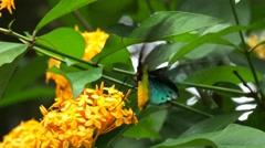 Male green priamus birdwing butterfly Stock Footage