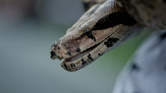 Boa Constrictor Pet Snake with Open Mouth Stock Footage