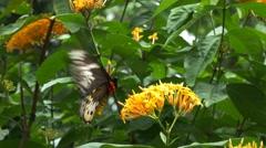 Female green birdwing butterfly feeding Stock Footage