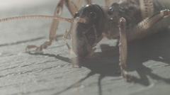 New Zealand Tree Weta Stock Footage