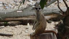 Meerkat. Suricata suricatta. Stock Footage