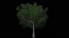 Tree - willow oak - seperated with alpha channel Stock Footage