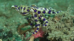 Blue Ringed Octopus Hunting - stock footage