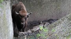 European bison (Bison bonasus), wisent. Aurochs. - stock footage
