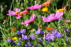 Flowery meadow with cosmos and echium - stock photo