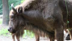 European bison (Bison bonasus), wisent. Aurochs. Stock Footage