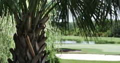 1911 Palm Tree with Golf Course in Background, 4K Stock Footage