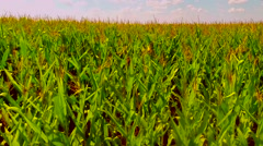 Flight over the corn field - aerial view 009 Stock Footage