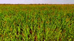 Flight over the corn field - aerial view 010 Stock Footage