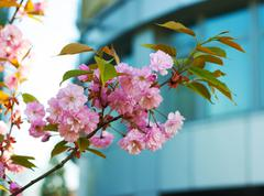 Bright pink flowers on a branch of plum Stock Photos
