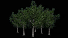Trees - willow oaks - seperated with alpha channel Stock Footage