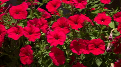 Flowers are red bells. 4K. Stock Footage