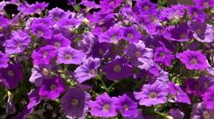 Flowers purple bells. 4K. Stock Footage
