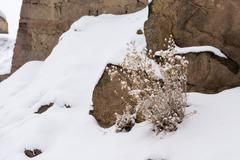 Dry dead plant in snow Stock Photos