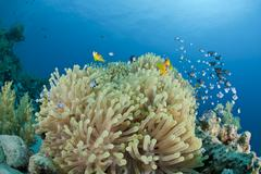 Red sea anemonefish with its anemone. Stock Photos