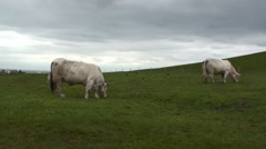 Herd of White Cows at Cliff of Moher 02 Stock Footage