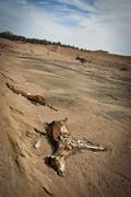 Two carcasses of horses left to decay in a  barren surrounding. Stock Photos