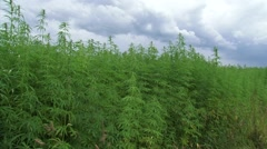 Dark cloud over Cannabis field Stock Footage
