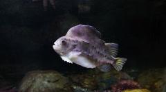Lumpsucker or lumpfish Stock Footage