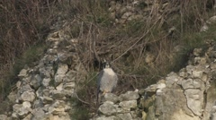 Peregrine Falcon (Falco peregrinus) watching from cliff face - stock footage