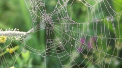 Spider web with dew drops early in the morning on a meadow - stock footage