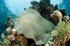 pristine hard coral formation on a tropical coral reef. - stock photo