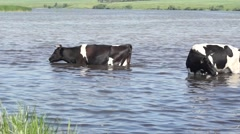 Cow went into the water on a hot summer day because of heat Stock Footage