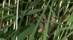 Reed Warbler (Acrocephalus scirpaceus) recently fledged in amongst reedss Stock Footage