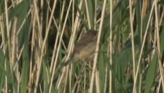 Reed Warbler (Acrocephalus scirpaceus) fledgling climbing reed stem - stock footage