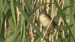 Reed Warbler (Acrocephalus scirpaceus) flies off from reed stem Stock Footage