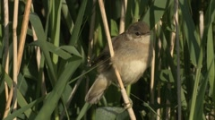 Reed Warbler (Acrocephalus scirpaceus) Fledgling perching on reed stem Stock Footage