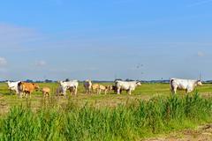 beef cows on farmland - stock photo