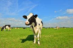 Holstein cow standing in meadow - stock photo
