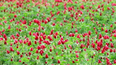 Beautiful Crimson clover flower field - stock footage