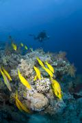 small shoal of yellowfin goatfish with scuba diver sihouette in the backgroun - stock photo