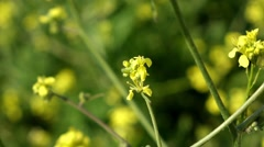 Hedge Mustard - - British Wildflower Stock Footage