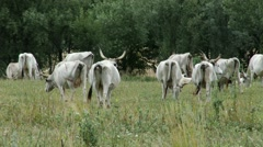 Hungarian Grey Cattles in Kali Basin Hungary 4 Stock Footage