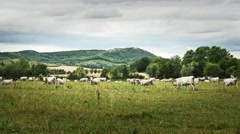 Hungarian Grey Cattles in Kali Basin Hungary 5 stylized Stock Footage