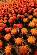 Cactus plants at a cactus farm Stock Photos