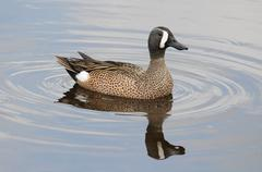 blue-winged teal - stock photo