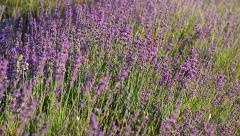 Lavender flowers field. Stock Footage