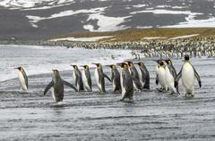a group of king penguins, aptenodytes patagonicus on south georgia island. - stock photo