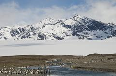 A group of king penguins, aptenodytes patagonicus on south georgia island. Stock Photos