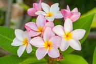 Plumeria flowers Stock Photos