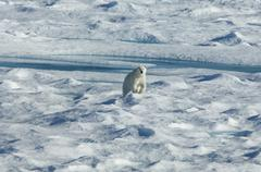 a polar bear walking across the uneven surface of an icefield, looking around - stock photo
