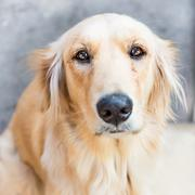 Golden retriever dog Stock Photos