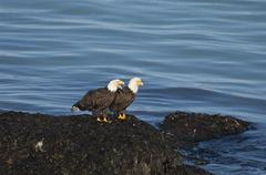 Two bald eagles, haliaeetus leucocephalus, perched on a rock by water. Stock Photos