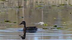 Duck Mating Ritual On Lake Stock Footage