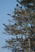 a group of bald eagles, haliaeetus leucocephalus, roosting in tall pine trees - stock photo